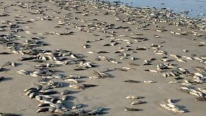 Dead fish wash up on Gunjur, Sanyang beaches